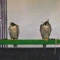 De kapjes dienen om de vogels rustig te houden