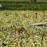Aangeschoten haas probeert nog te vluchten