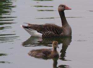 Ook dit jaar laten de provincies weer vele duizenden ganzen op gruwelijke wijze afslachten. (Foto: De Faunabescherming)