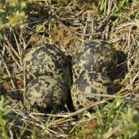 Kievitsnest met eieren