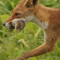 vossen eten geen wortels