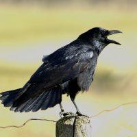 Zwarte kraai foto Harm Niesen Faunabescherming