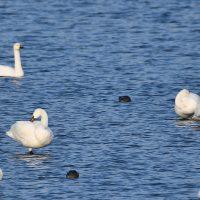 Kleine zwaan foto: Harm Niesen